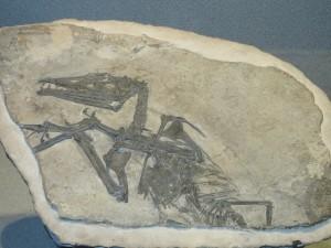 Ecco il calco che è stato trasferito a New York per la prossima mostra sul volo degli pterosauri