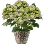 Una nuovissima Ortensia a fiore doppio