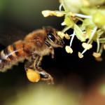 Le api amiche dell'uomo