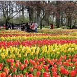 Nel regno dei tulipani