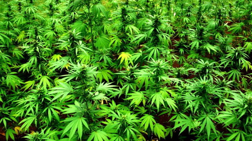 marijuana-34-2