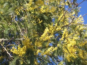 02 Le mimose.